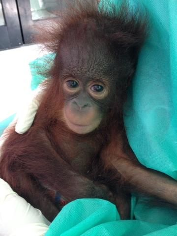 IAR's team in Ketapang rescues three orangutans in one day from a village next to an oil palm plantation. | International Animal Rescue