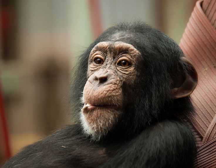 Chimps Develop Ability To Learn New Sounds, Alter Calls and 'Words' - Chimpanzees are able to learn new sounds, according to a new discovery made in Scotland. What can this tell us about the history of human evolution?