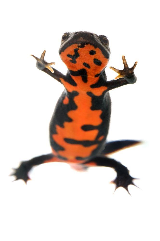 Chinese fire-bellied newt shutterstock_38418046.jpg 665×1,000 pixels