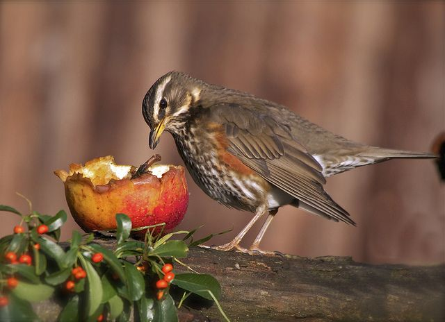 Redwing   [  Explored   ] by barnowlterry, via Flickr