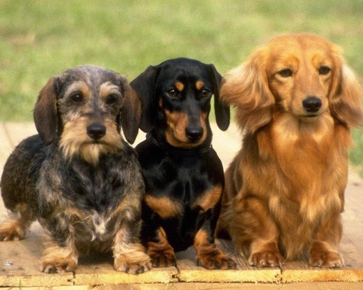Long Haired Dachshund Puppies .