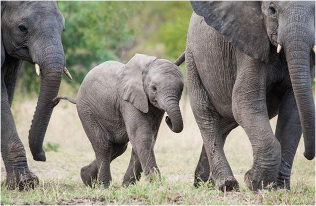 Written by: Jason Bell – IFAW – Director Southern Africa / Elephant Programme Director Time is ticking by for Africa's elephants. Monday 12 August is World Elephant Day. This presents an opportunity to reflect on the plight of Africa's elephants and…Read more ›