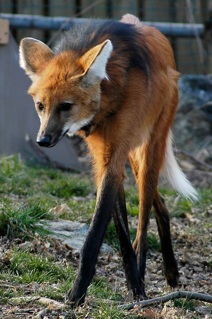 The Maned Wolf (see the Mane!) is the largest canid in S. America (1m tall); the only member of its genus, Chrysocyon.