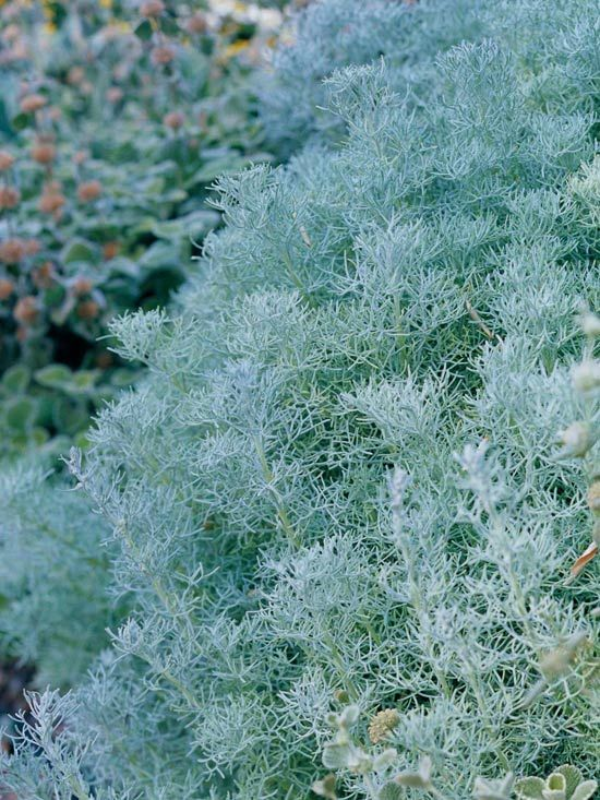 Silvermound Artemisia  Count on silvermound artemisia's low, rounded habit and bright coloring to add interest to your landscape, especially when paired with ornamental grasses.  Like many silvery plants, silvermound artemisia does best in full sun and likes well-drained soil.