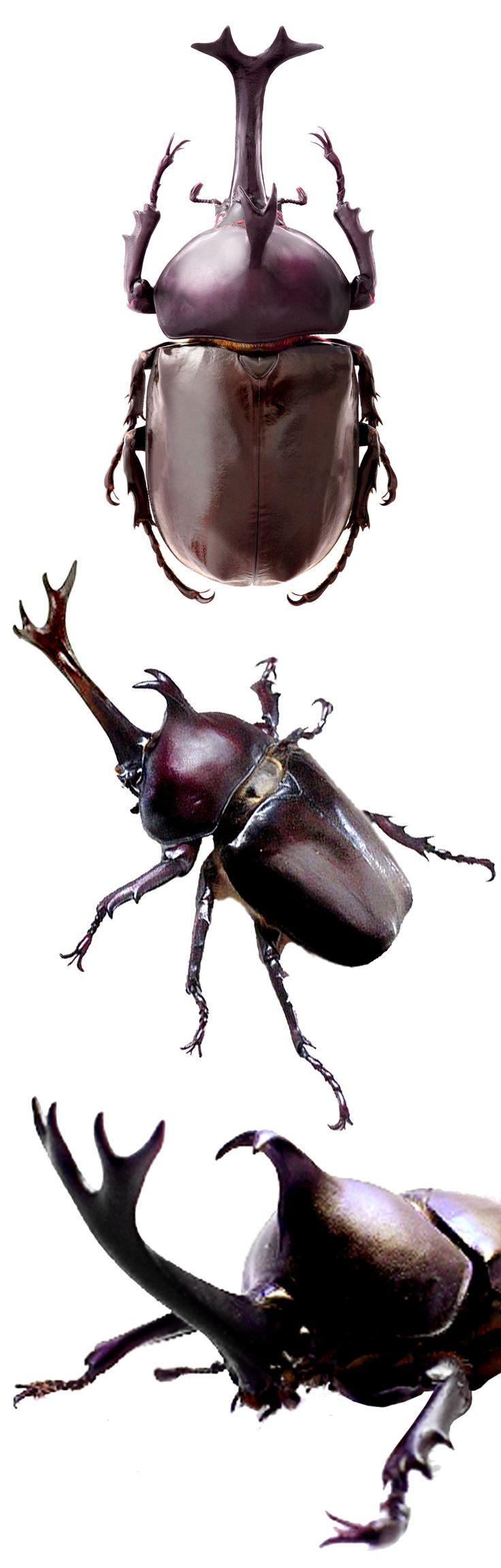 HEXAPODA (Hexápode) - Classe Insecta.  /   HEXAPODA (Hexapod) - Class Insecta.  Allomyrina dichotoma