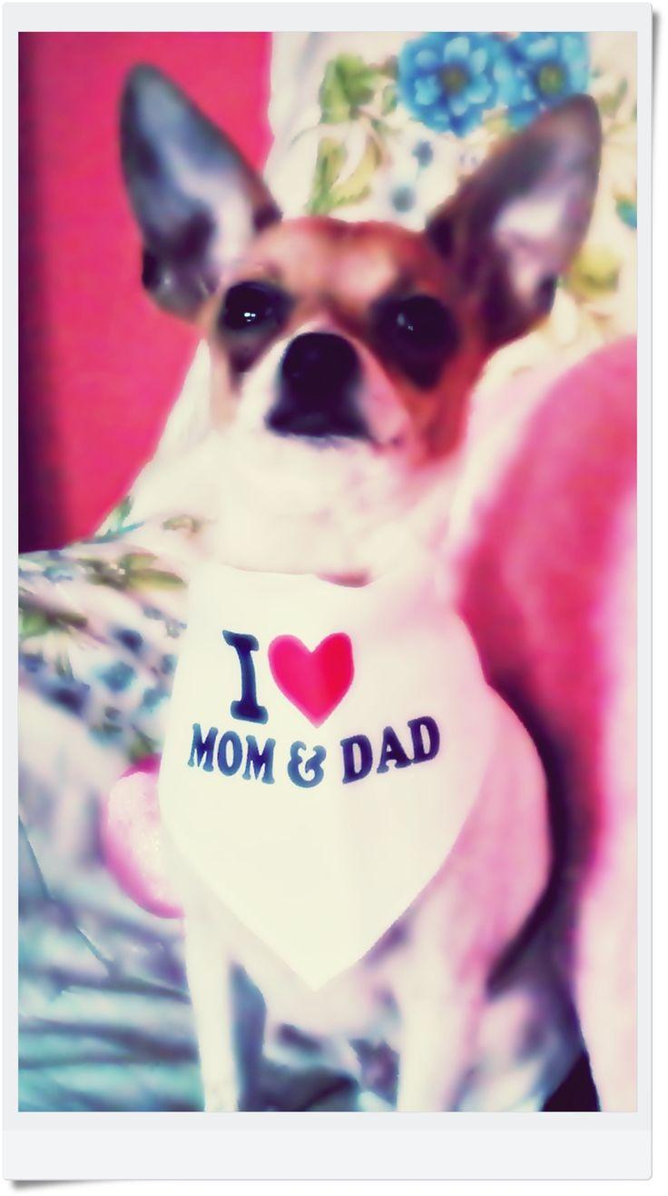 Coco, a csivava nagyon szereti anyut és aput - én ennek hangot is ad