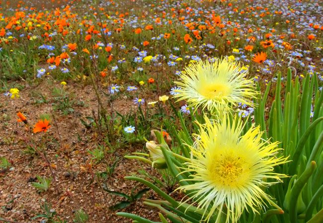 Namaqualand Flower Route