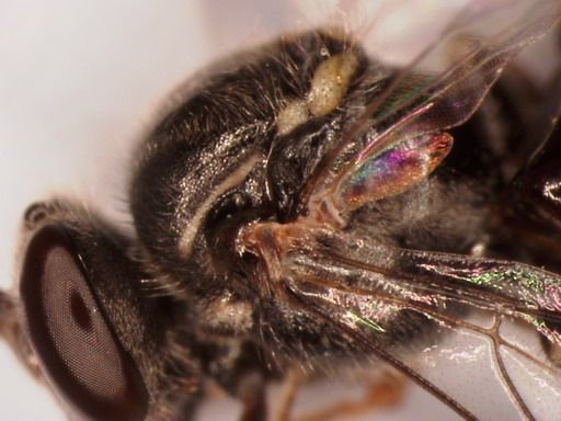 A. australis drone with extended markings down length of thorax, unlike the workers of the same colony  Photo Megan Halcroft