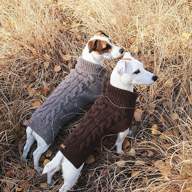 well-dressed Jack Russell Terriers