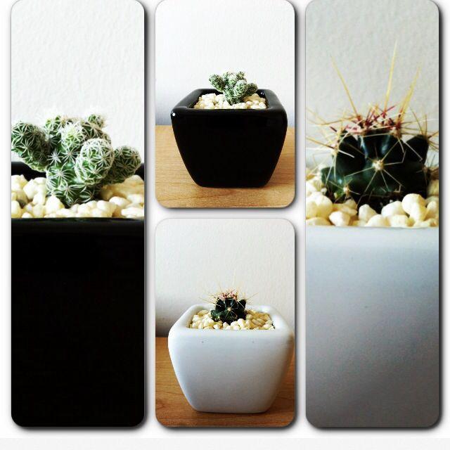 Cactus www.plantites.com