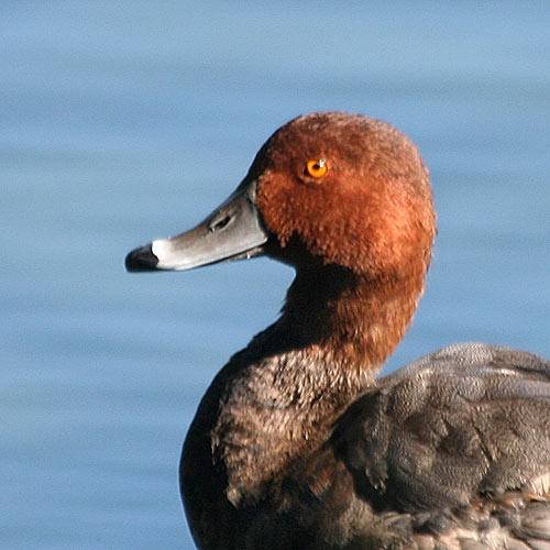 Redhead Duck | birdinginformation.com