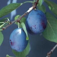 Earliblue Prune-Plum from Stark Bro's The easiest plum to grow. This super-hardy variety is one of the first to produce, yielding crops of sweet, juicy plums with purple-blue skin. Ripens in late July. Self-pollinating.