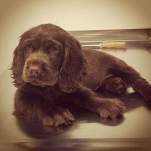 Sweet Sussex Spaniel puppy Tallulah