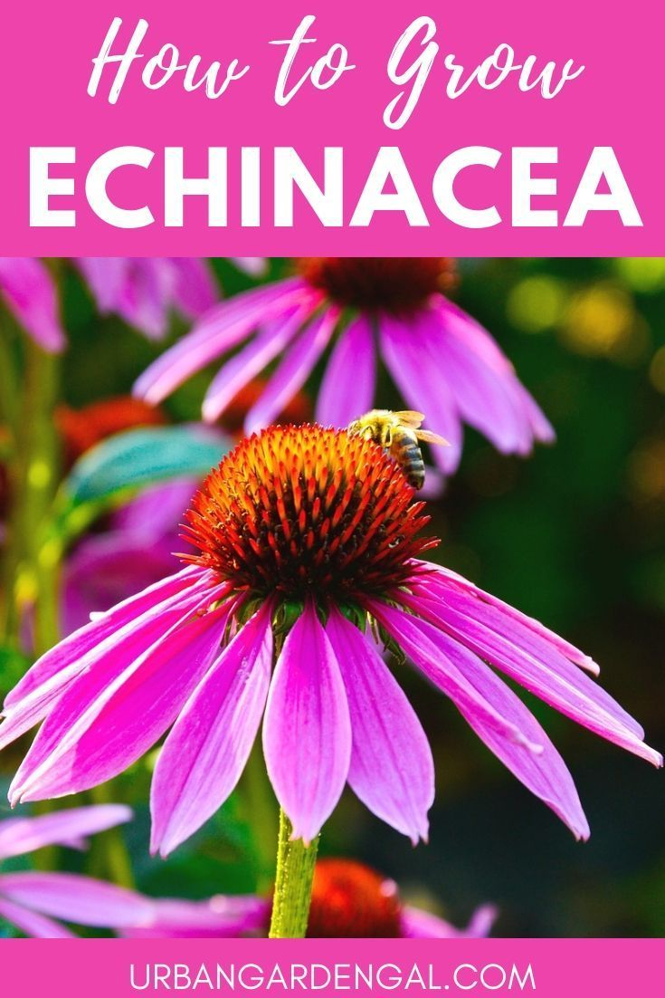 How To Grow Echinacea In 2020 Flowers Perennials Annuals Vs Perennials Echinacea
