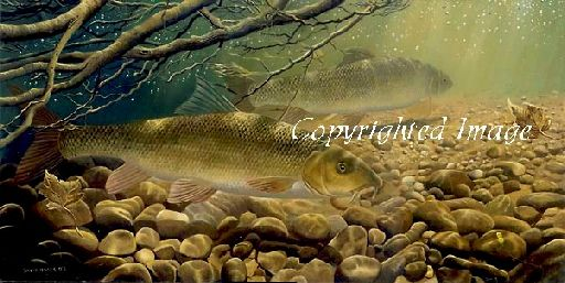 Under the Willows, Barbel by David Miller Limited Edition print £60.00