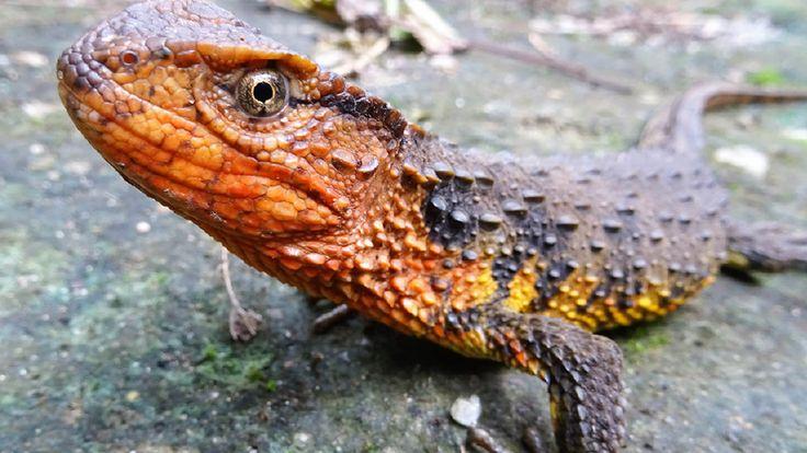 Un lagarto cocodrilo, una tortuga que come caracoles y un murciélago con forma de herradura son tres de las 115 nuevas especies descubiertas en 2016 en la región del río Mekong, en el sudeste de Asia. El hallazgo fue anunciado este lunes por el Fondo Mundial para la Naturaleza (WWF). VER MAS