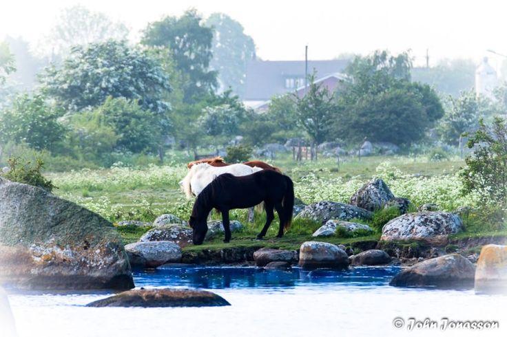 Horses at Tosteberga port