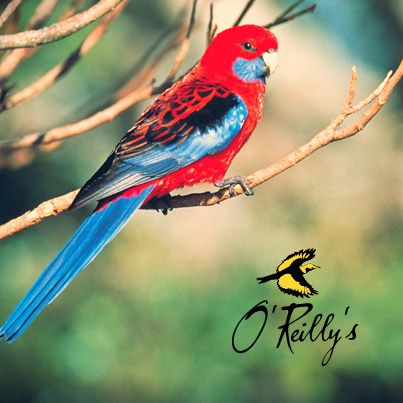 Join our team of experts as they discover many of the iconic birds that reside in the Lamington National Park. 3rd - 10th November 2013 #oreillysrainforestretreat #lamingtonnationalpark #birdweek