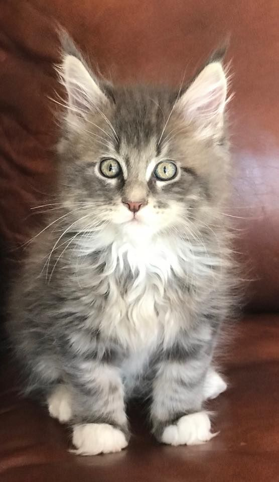 Colorado Maine Coons Hagrid | Furry Friends | Maine coon