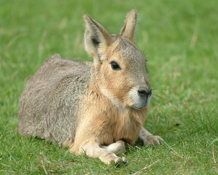 patagonian-mara-baby