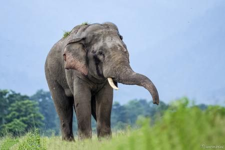 Asiatic Elephant Photo by Mousam Ray -- National Geographic Your Shot