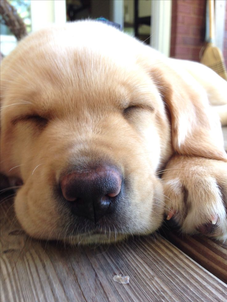yellow lab dog - photo #48