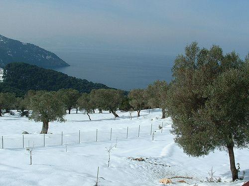 snowy olive grove, Alonissos