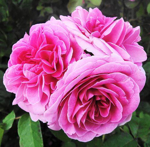 693 best images about i david austin roses on pinterest english garden roses and shrubs. Black Bedroom Furniture Sets. Home Design Ideas