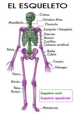 El esqueleto, nombre de sus partes.