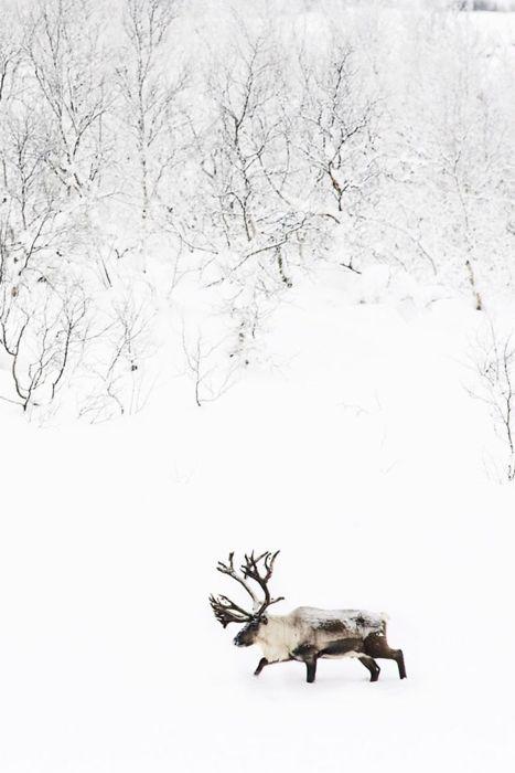 Reindeer もっと見る