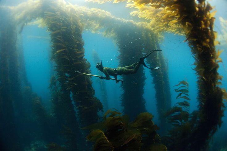 Another free dive spearfishing shot... amazing.Free Diving, Scubas Diver, Kelp Gardens, Scubas Diving, Underwater Photography, Underwater Inspiration, Underwater Hunters, Freediving Spearfishing, Kelp Forests