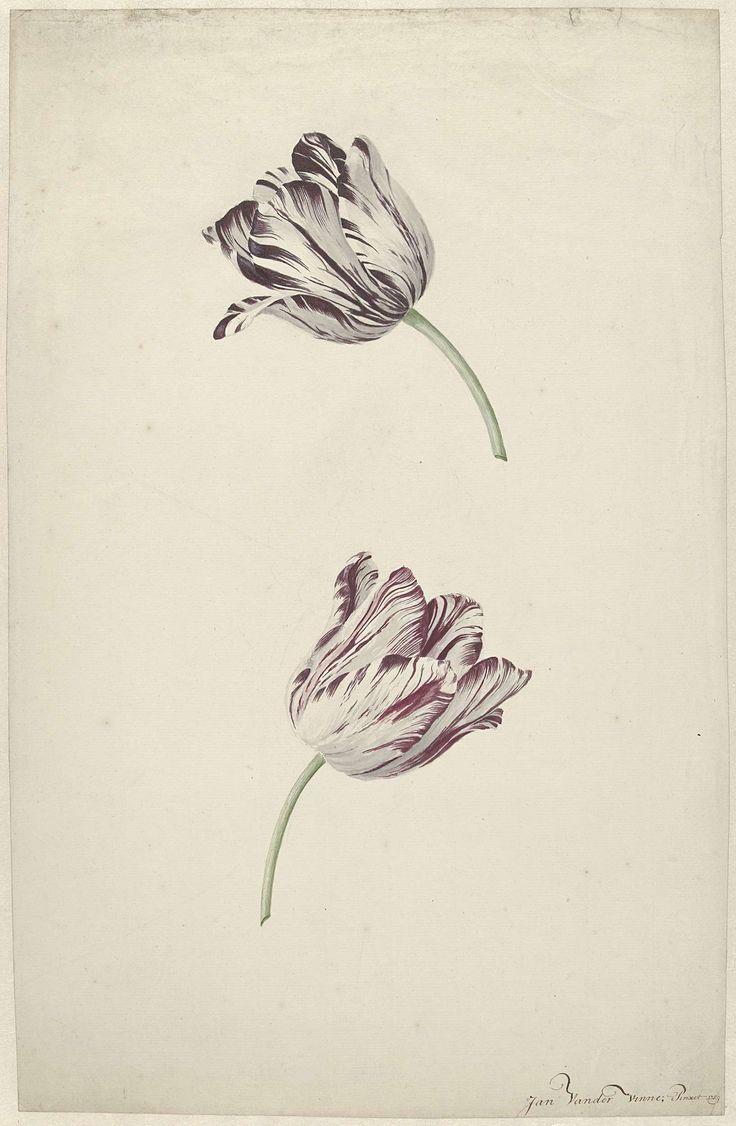 Twee wit-rode tulpen, Jan Jansz. van der Vinne, 1744 - 1805