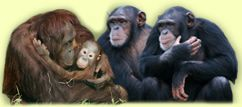 Monkey World Ape Rescue Centre Dorset UK houses chimps, orangutans, gibbons who have sufferd at hands of illegal wild animal poachers or been abused and neglected. They are rehabilitated into natural living groups.