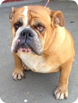 Temecula, CA - English Bulldog. Meet Ruby, a dog for adoption. http://www.adoptapet.com/pet/13681759-temecula-california-english-bulldog