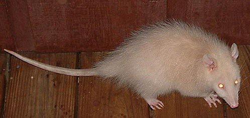 Albino # Opossum # White: Animal Whitealbino