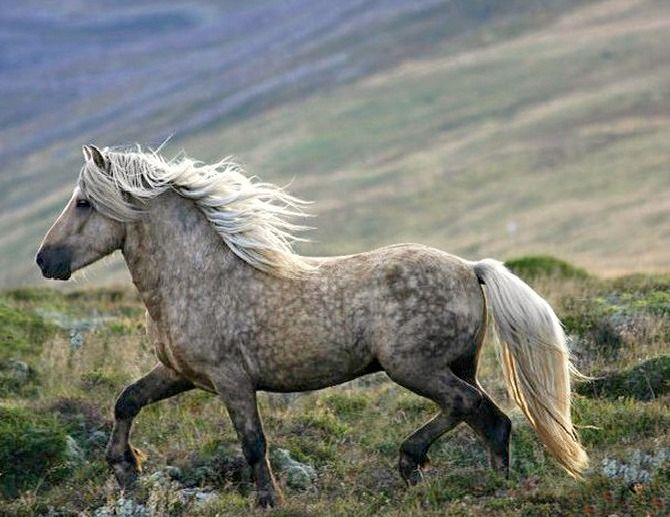 Icelandic horse. One of Icelander Chantal Jonkergouw's herd of original type Icelandic horses.