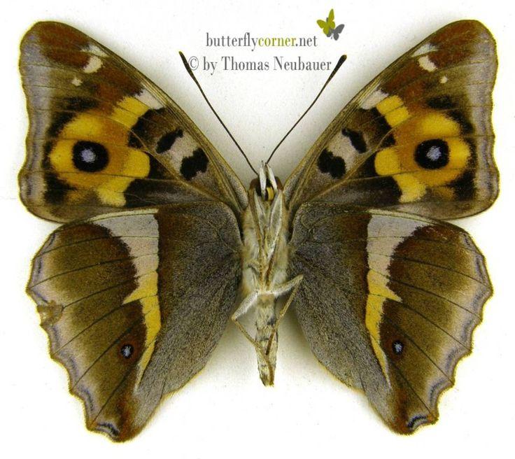 ButterflyCorner.net: Apatura iris (Purple Emperor, Großer ...