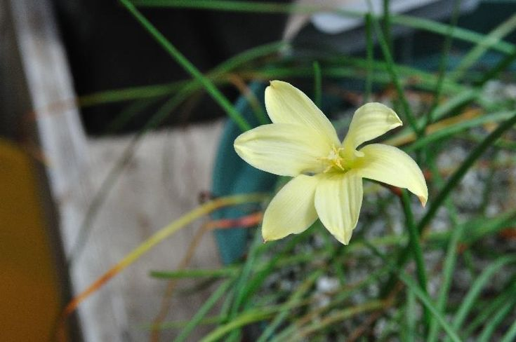 Habranthus longifolius