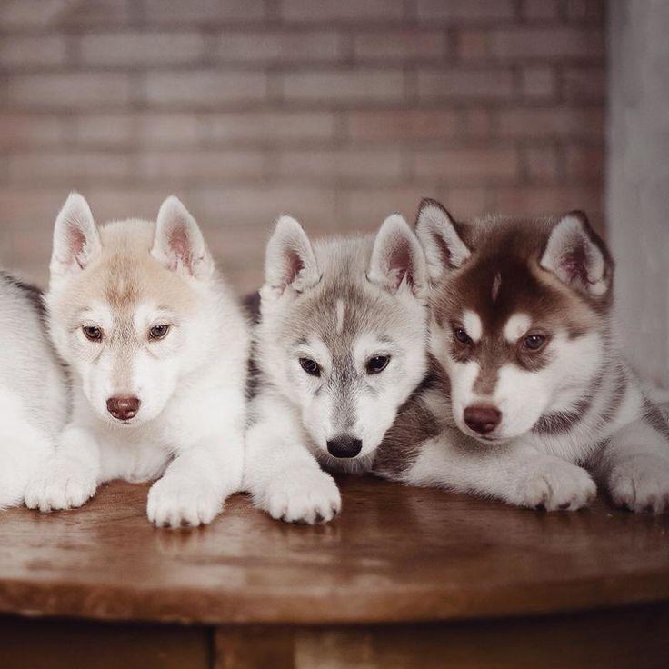 Una fotografa russa con la passione per i cuccioli di husky siberiano