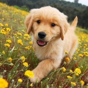 Golden Retriever in the flowers...