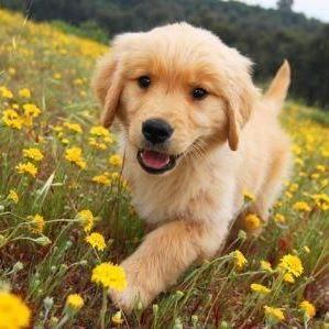 Golden Retriever in the flowers...