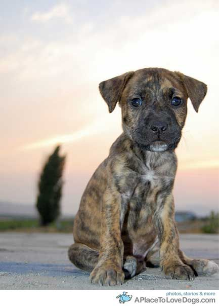 boxer mastiff mix... best dog ever.