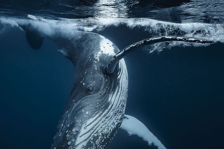 Taken in Tonga last seasons migration, this grown up 12m humpback whale really wanted to play with me or say hi, he kept following me and went around me up site down it was incredible but I felt very undersized and not quite equal as such:)