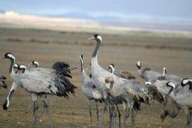Grullas En Gallocanta, Las Aves Del Frío