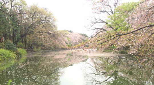 441:「雨上がりの午後に撮ったものです。雨で落とされた花びらが、池の水面に広がっている様子が綺麗だったので、撮影しました。」@井の頭恩賜公園