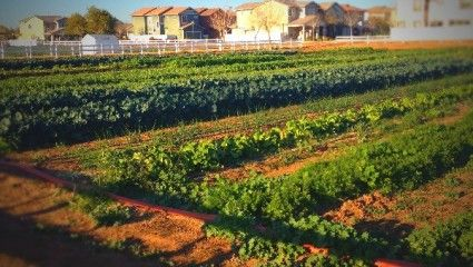 #Agritopia in #Phoenix just made #NBC Nightly News for farm to table living! http://nbcnews.to/1G78ifV