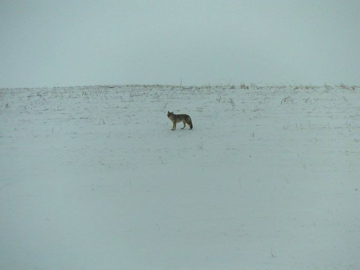 Coyote on the way to ice fishing.