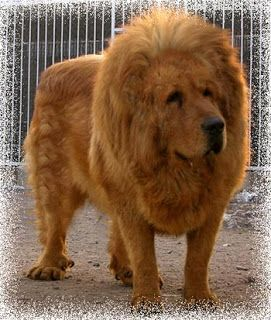 Tibetan Mastiff Lion | Tibetan Mastiff... These dogs are huge!