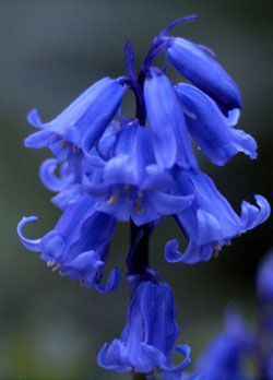 A closeup of some bluebells,a very violent shade of blue which pierces our vision , this would stand out in a field.