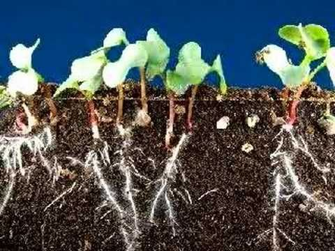 A time lapse spanning 9 days shows the growth of radish seeds sprouting while their roots grow deeper into the dirt.